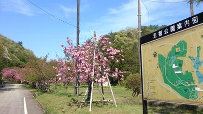 五智の八重桜 タマリーブ メギみそ 上越人気のお土産