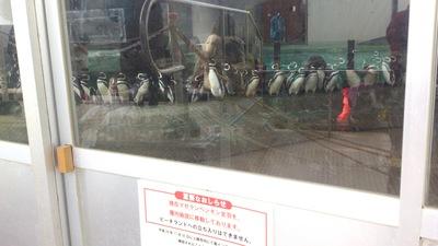 マゼランペンギン日本一