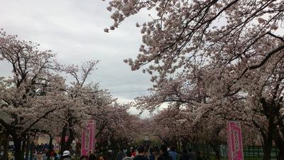 高田公園 観桜会