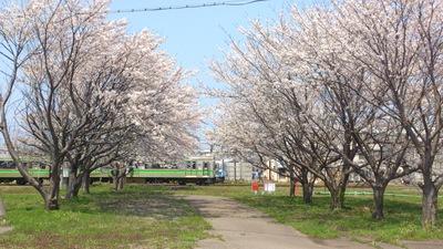 トキ鉄 桜