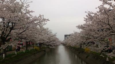 長岡市 桜満開