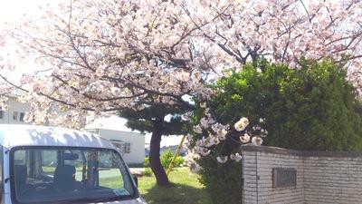 古城小学校 八重桜