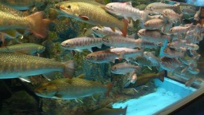 すいはく(上越市立水族博物館)ヤマメイワナ
