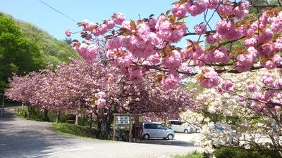 五智 八重桜