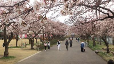 高田公園 桜の様子