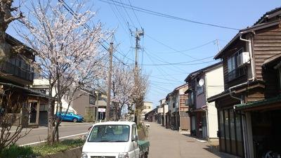 直江津二段坂桜