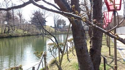 高田公園 桜