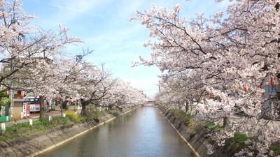 #福島江の桜並木