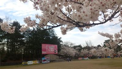 #悠久山の桜