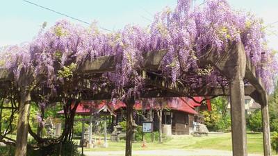 八幡さん、藤の花