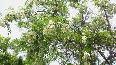 上越 アカシアの花