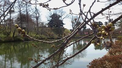 高田城址公園 桜