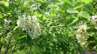 直江津 アカシアの花
