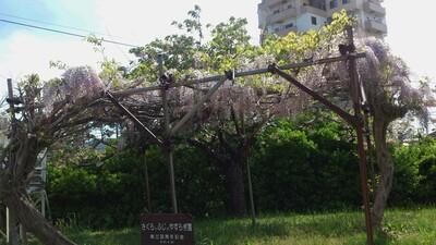 古城小学校 藤の花