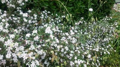 白丁花 はくちょうげ