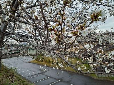 御館橋の桜