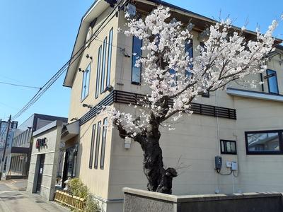 山本医院の桜
