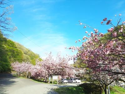 五智公園の八重桜