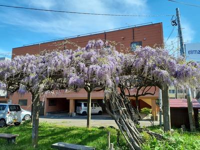 府中八幡宮の藤の花